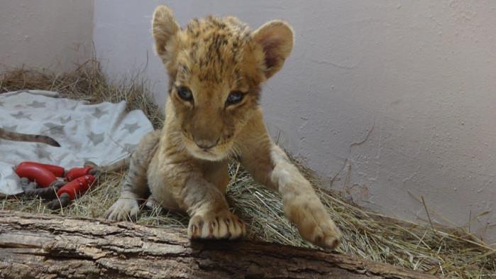 Варненският зоопарк - с две малки лъвчета