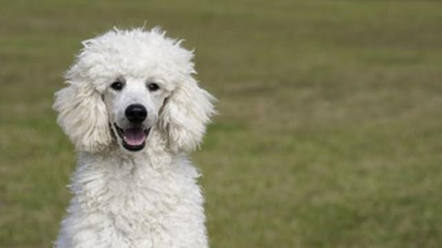 Студентите с терапевтични кучета с по-добри резултати и с по-малко стрес