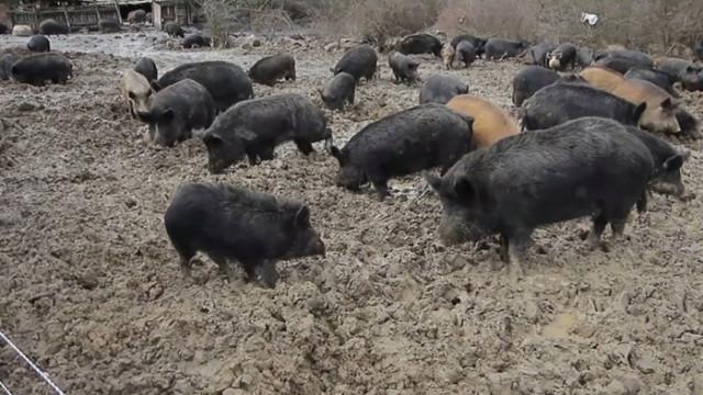 Свиневъдите искат спешна среща с министъра на земеделието