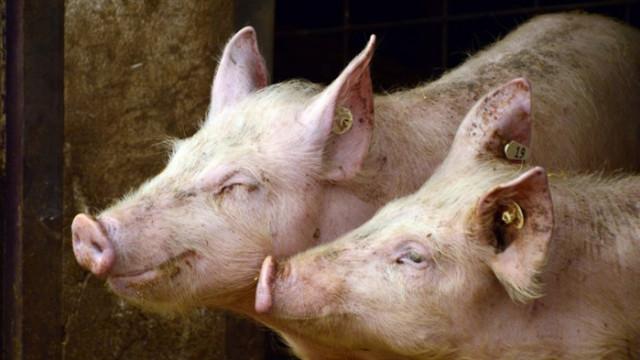 Проверяват стопанствата в Пловдивско заради огнище на африканска чума по свинете