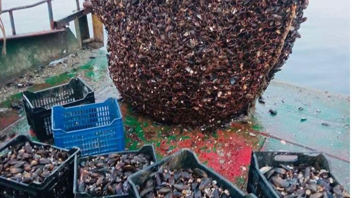 Над 5 тона черни морски миди, открити в два риболовни кораба бяха иззети и върнати във водата
