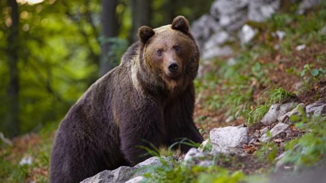 С безпрецедентна акция спасиха от отстрел мечка с две мечета в Смолянско