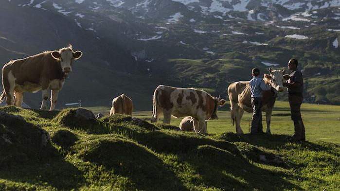 Обучават крави да ползват тоалетна заради климатичните промени