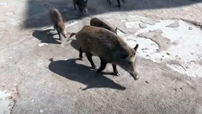 Диви свине по улиците на Рим (ВИДЕО)