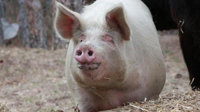 Огнище на африканска чума по свинете бе открито в Съединение