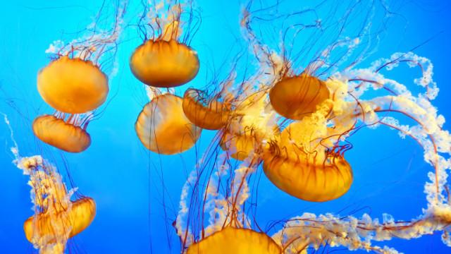 Медузите и тяхното устояване на високите температури и замърсяване
