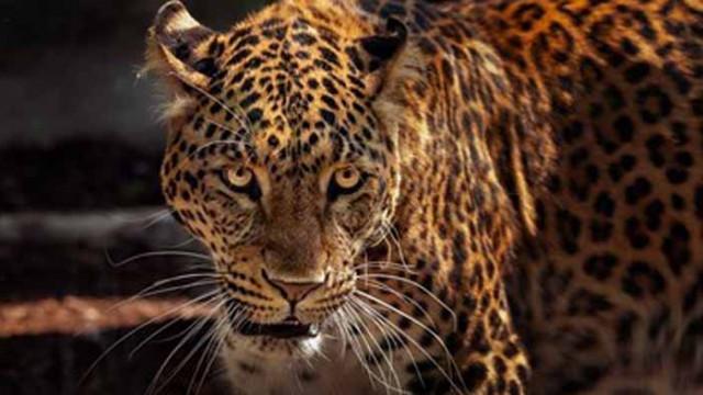 Пожари заплашват ягуарите в света