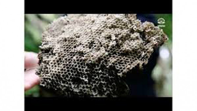 Откриха гнездо на оси с големината на двуместна палатка (Видео)