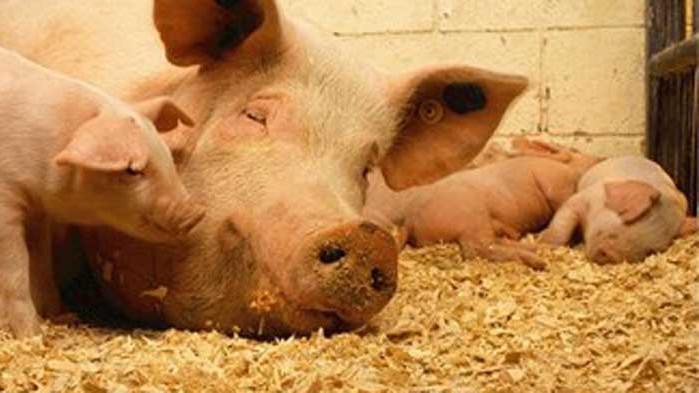 След Китай и Япония забрани вноса на свинско месо от Германия