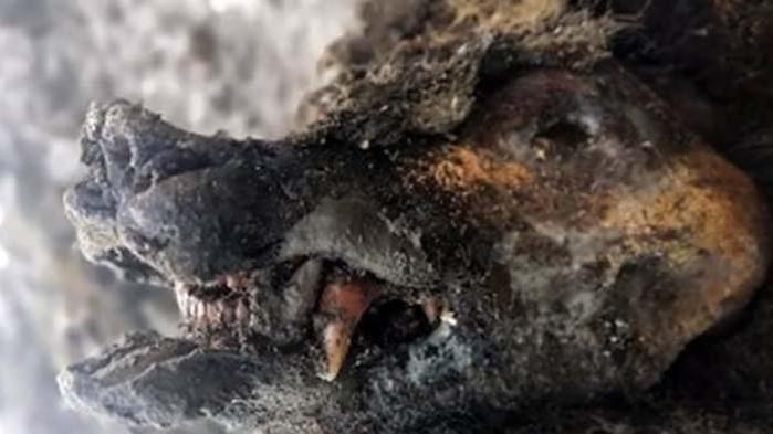 В Русия откриха отлично запазен труп на мечка от Ледената епоха (ВИДЕО)