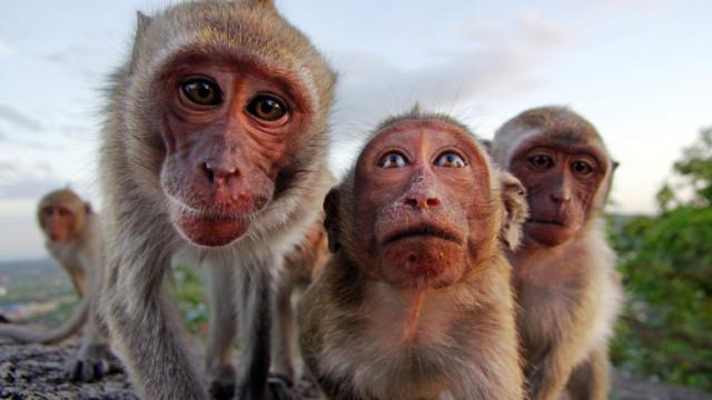 Маймуни в Индия откраднаха кръвни проби за коронавирус