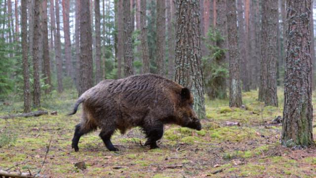 Откриха африканска чума при дива свиня