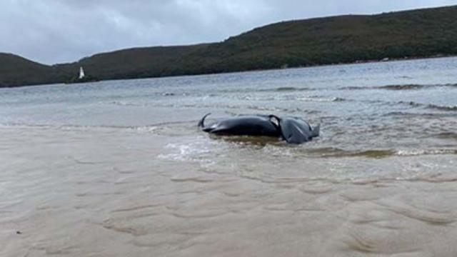 Загинаха 19 от заседналите китове в Нова Зеландия