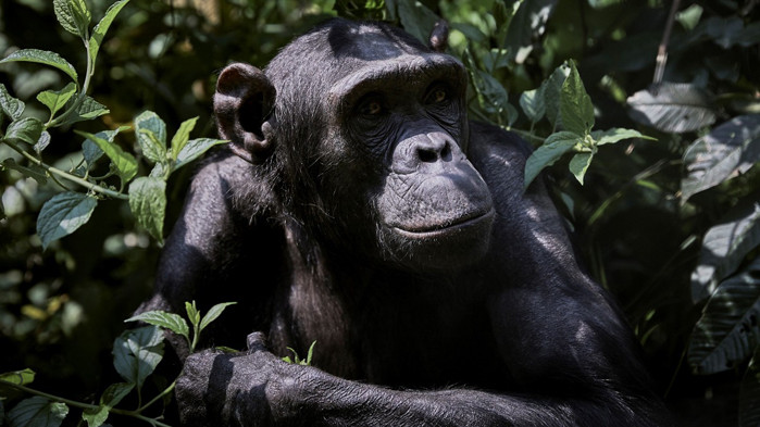 Подобно на хората, с възрастта шимпанзета отдават приоритет на важните приятелства