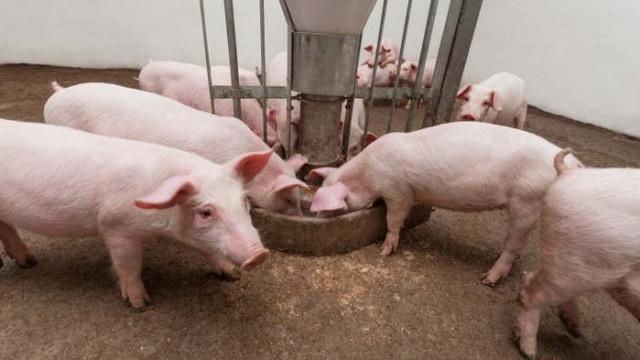 Опасността от нова вълна от африканската чума по свинете не била отминала