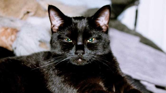 Черните котки: слуги на дявола или божествени създания
