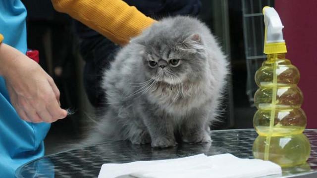 Новите породи котки: удивителни и забавни