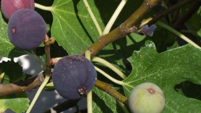 Чаят от смокинови листа – еликсир на живота