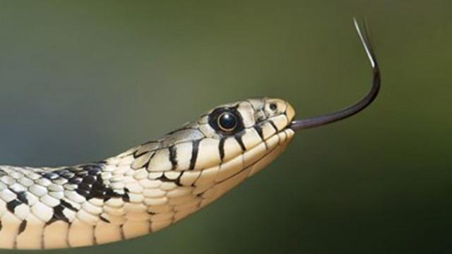 Учени създадоха уникална противоотрова срещу ухапвания от змии