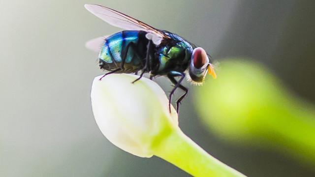 Домашната муха – опасният съжител на човека