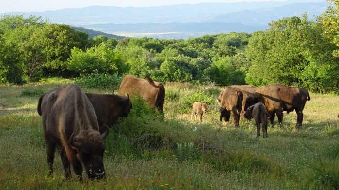 В Източните Родопи се роди второ зубърче в естествена среда