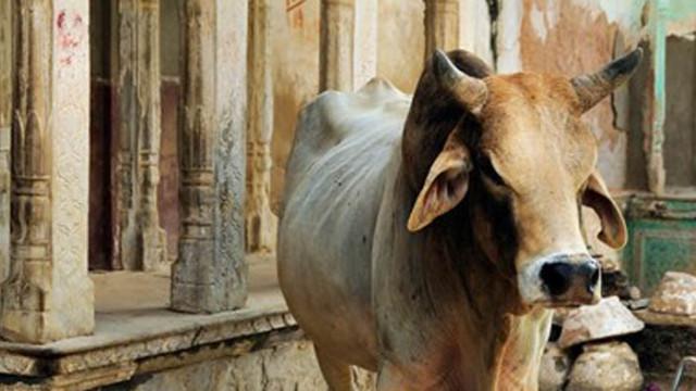 Властите в Индия с национален тест за познанията за кравите
