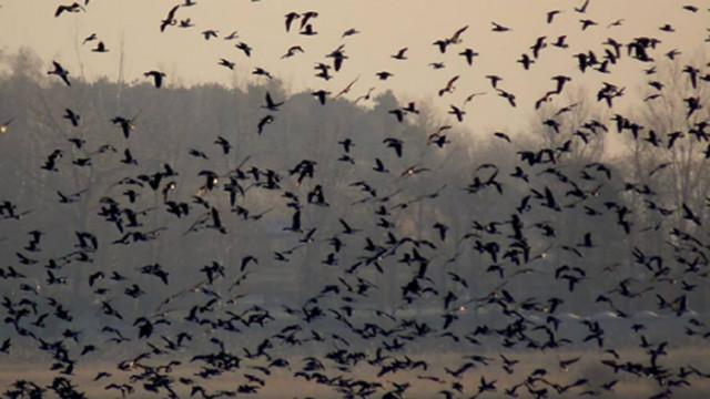 За 45-та поредна година броим зимуващите водолюбиви птици в България