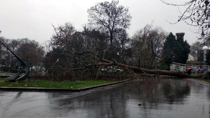 Вятърът събори голямо дърво в Морската градина на Варна