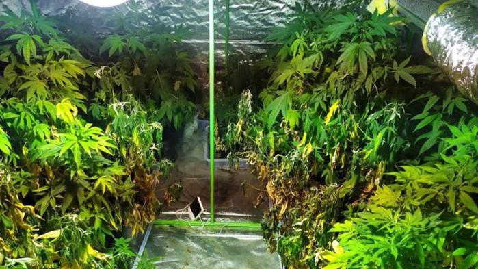 Разкриха наркооранжерия в хотел в Слънчев бряг