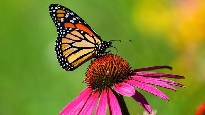 Пеперудите монарх, глобалното затопляне, пестицидите и ще изчезване ли видът