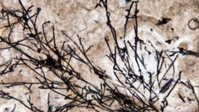 Учени откриха най-стария известен фосил - на 635 милиона години