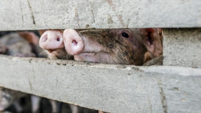 Жители на Дунавци излизат на протест срещу свинеферма