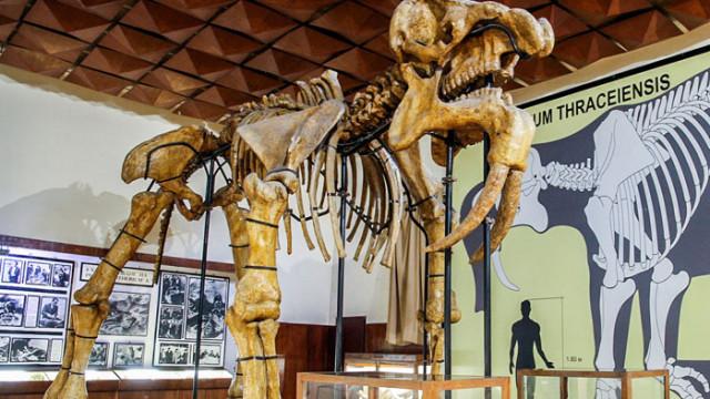 Палеонтологичният музей в Асеновград разказва за прародителите на днешните слонове