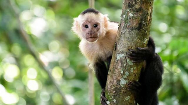 """Маймуни подслушват """"разговори"""" с цел извличане на полза"""