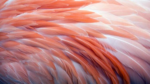 Тайната за розовите пера на фламингото