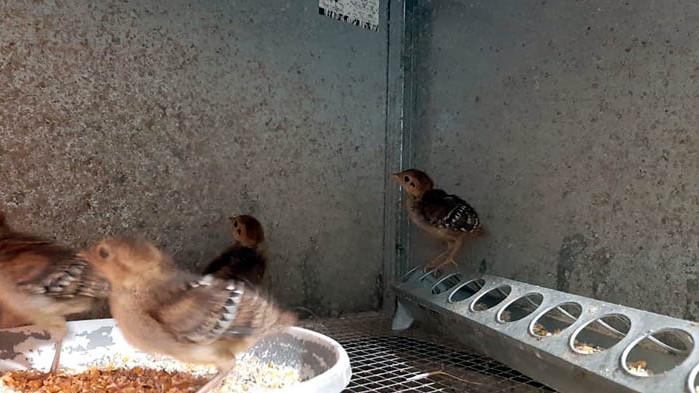 Диамантените фазани във варенския Зоокът се сдобиха с поколение