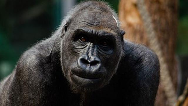 Ваксинираха 9 човекоподобни маймуни срещу COVID-19