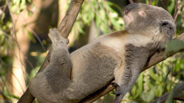Животните, които прекарват най-много часове в сън