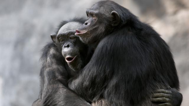 Шимпанзета в чешки зоологически градини общуват по Zoom