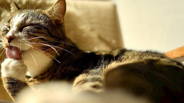 Създадоха коронавирусна ваксина специално за котки
