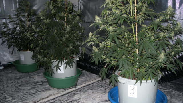 Палатка в хола и 4 саксии - МВР разкри наркооранжерия