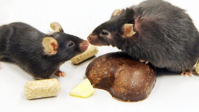 Мишките също спазват социална дистанция