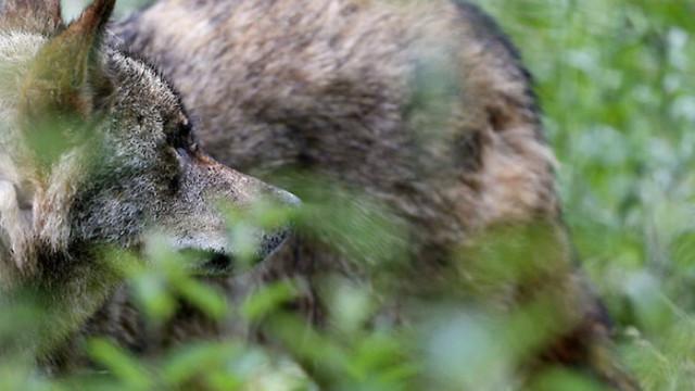 Гъвкава диета спасила сивите вълци през ледниковата епоха