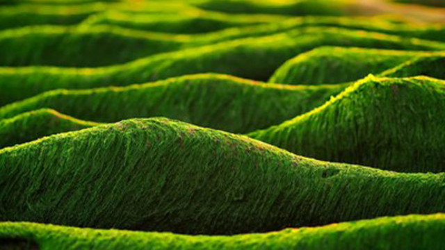 Токсични за хората водорасли са опасни и за рибите и мидите