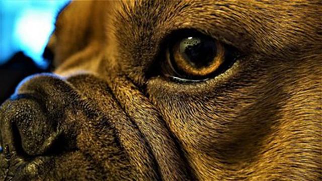 Кучетата с плоски муцуни - 2 пъти по-застрашени от топлинен удар