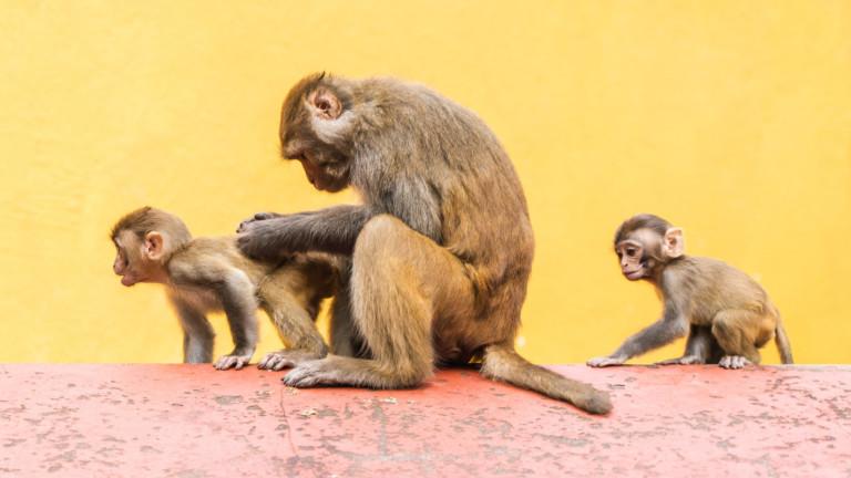 Маймунски ембриони, съдържащичовешки клетки, санаправени в лаборатория, потвърждава проучване. Изследването,