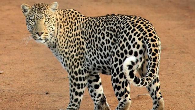 Избягали леопарди предизвикаха паника в китайски град