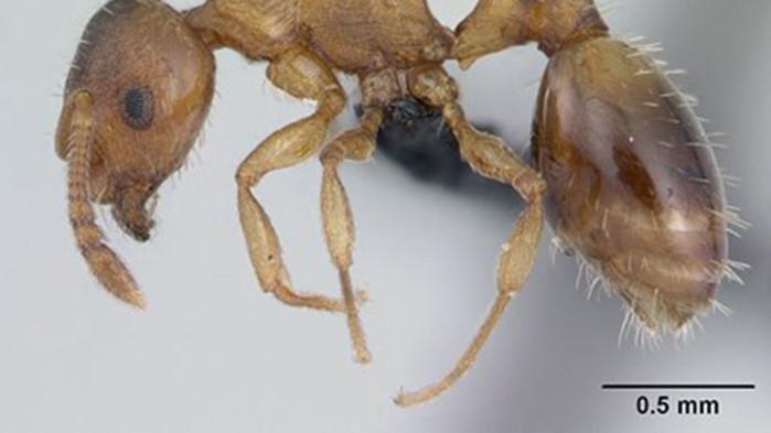 Паразит забавя стареенето на мравките, за да ги погълне по-лесно птица