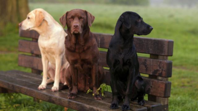 Тайланд, коронавирусът и кучетата, които откриват COVID-19 по миризмата