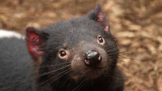 Тасманийски дявол, Австралия и раждането на седем дявола за първи път от 3000 години